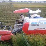 Terserang Hama Wereng, Hasil Panen Petani Bubulan Rendah