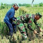 TMMD, Tak Hanya Rehab RTLH Tentara Juga Bantu Petani Panen Padi