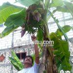 Pohon Pisang Berbuah Tiga Tundun Gegerkan Warga Bojonegoro