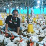 Pandemi Corona Turunkan Omset Usaha Ternak Ayam